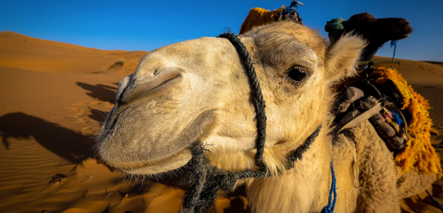 Leite de camelo reduz infamação das células associada ao Diabetes